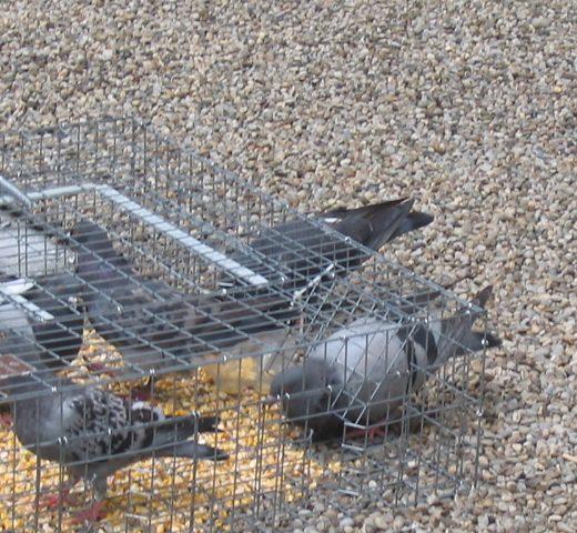 pigeon-trap-1